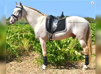 Andalusian, Stallion, 9 years, 16.1 hh, Cremello
