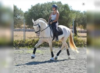 Andalusier, Hengst, 9 Jahre, 165 cm, Cremello