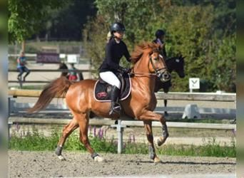 French riding pony, Gelding, 13 years, 14.2 hh, Chestnut-Red