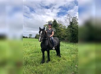 Gypsy Horse, Mare, 5 years, 13 hh, Black