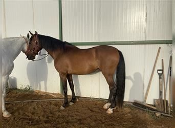 Andalusian Mix, Gelding, 14 years, 15.2 hh, Bay