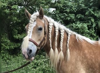 Haflinger, Mare, 7 years, 15.1 hh