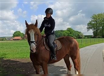 Polish Coldblood, Mare, 6 years, 15.3 hh, Chestnut-Red