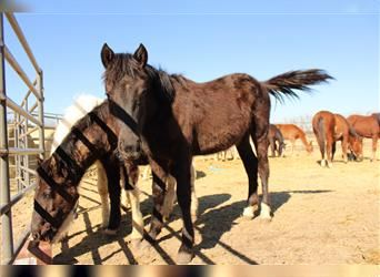 Mustang (american), Mare, 1 year, 14.2 hh, Black