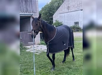 English Thoroughbred, Mare, 2 years, 14.2 hh, Brown