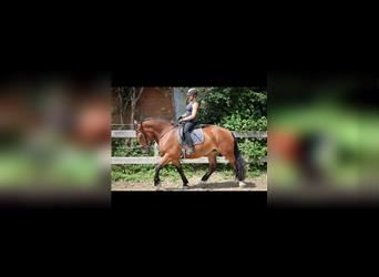 South German Coldblood, Mare, 4 years, 16 hh, Brown