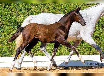 Austrian Warmblood, Mare, Foal (05/2021), Can be white