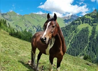 More ponies/small horses, Stallion, 3 years, 14.1 hh, Pinto