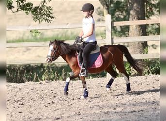 Andalusian, Mare, 4 years, 10.2 hh, Tobiano-all-colors