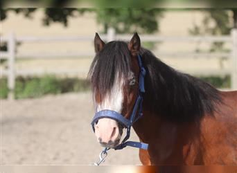 Andalusier, Stute, 4 Jahre, 108 cm, Tobiano-alle-Farben
