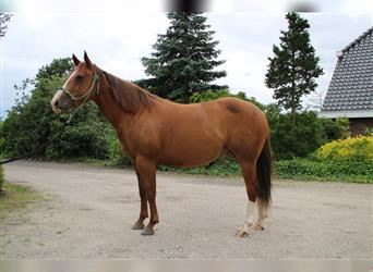 Quarter Horse, Mare, 6 years, 14.2 hh, Chestnut-Red