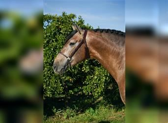 P.R.E. Mix, Stallion, 4 years, 16 hh, Gray-Red-Tan