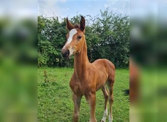 German Riding Horse, Mare, Foal (06/2021), 16.1 hh, Brown