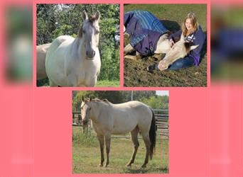 Quarter Horse, Mare, 8 years, 14.3 hh, Champagne