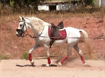 Andalusian Mix, Gelding, 13 years, 15 hh, Gray