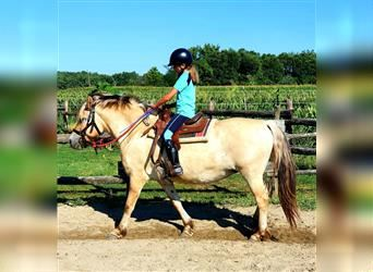 Fjord Horses, Mare, 13 years, 13.2 hh