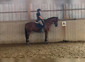German Sport Horse, Mare, 4 years, 16 hh, Chestnut-Red
