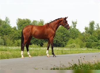 KWPN, Mare, 3 years, 15.3 hh, Brown