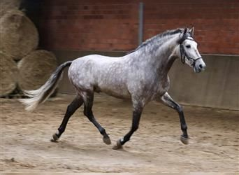 Andalusian Mix, Gelding, 3 years, 15.1 hh, Gray-Dapple