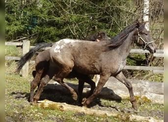 Rocky Mountain Horse Mix, Mare, 2 years, 15.1 hh, Leopard-Piebald