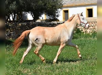 Lusitano, Mare, 4 years, 15 hh, Pearl