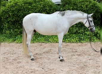 Other Breeds, Gelding, 8 years, 16 hh, Gray