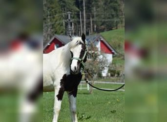 Pintos, Mare, 2 years, 12 hh, Pinto