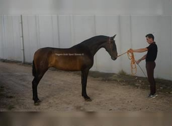 Andalusier, Stute, 2 Jahre, 160 cm, Rotbrauner