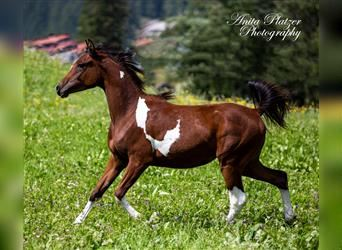 Arabian Partbred, Mare, 1 year, 14.2 hh, Pinto