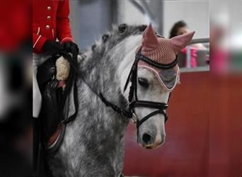 Welsh A (Mountain Pony), Mare, 6 years, 11.1 hh, Gray-Blue-Tan