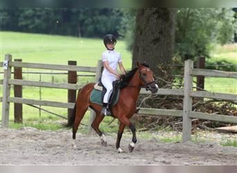 Andalusier, Stute, 5 Jahre, 131 cm, Red Dun