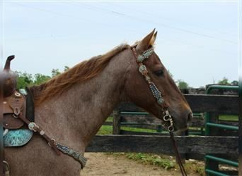 Quarter Horse, Gelding, 12 years, 15 hh, Roan-Red