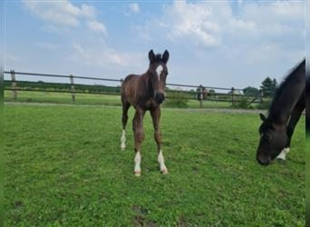 German Riding Horse, Stallion, Foal (06/2021), 16.2 hh, Can be white
