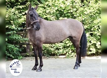 More ponies/small horses, Mare, 6 years, 13.3 hh, Grullo