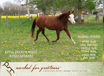 Paint Horse, Stallion, 5 years, 14.2 hh, Chestnut-Red