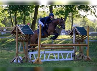 German Riding Pony, Mare, 6 years, 14.1 hh, Brown