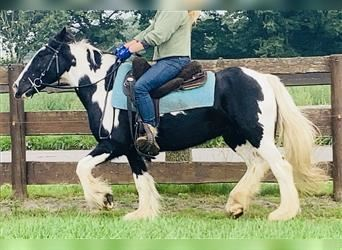 Gypsy Horse, Mare, 7 years, 14 hh, Pinto