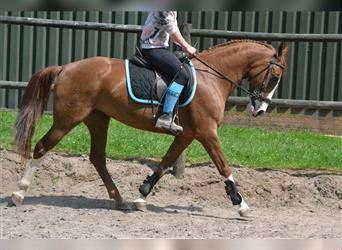 Other Warmbloods, Mare, 7 years, 14.1 hh, Chestnut-Red