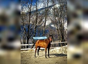 Furioso, Mare, 5 years, 16.1 hh, Brown