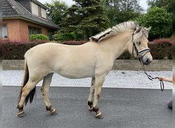 Fjord Horses, Mare, 3 years, 14.2 hh, Dun