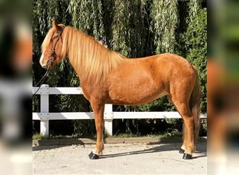 Icelandic Horse, Mare, 7 years, 13.3 hh, Chestnut-Red