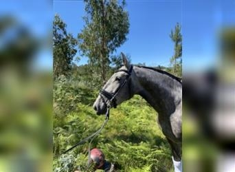 Lusitano, Mare, 4 years, 15.2 hh, Can be white
