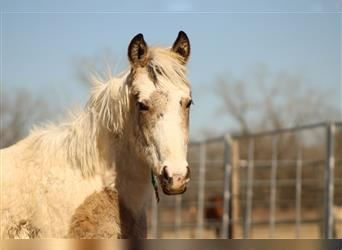 Mustang (american), Gelding, 1 year, 14.2 hh, Tobiano-all-colors