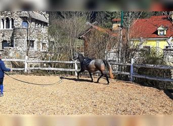 Lusitano, Mare, 6 years, 16 hh, Can be white