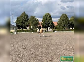 Classic Pony, Mare, 6 years, 13.2 hh