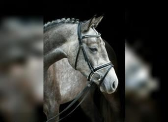 German Riding Pony, Gelding, 3 years, 14.1 hh, Can be white