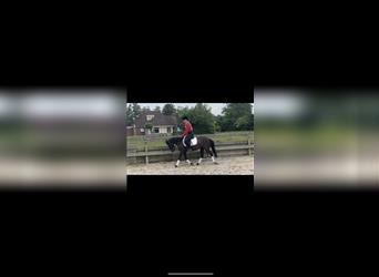 Welsh C (of Cob Type), Mare, 4 years, 13 hh, Black