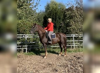 Other Warmbloods Mix, Mare, 8 years, 15.2 hh, Chestnut
