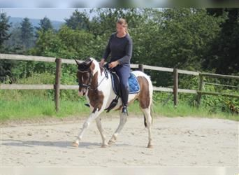 Lewitzer, Mare, 10 years, 14.1 hh, Pinto
