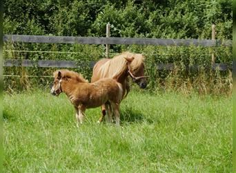 Shetland Ponies, Mare, 9 years, 10 hh, Chestnut-Red